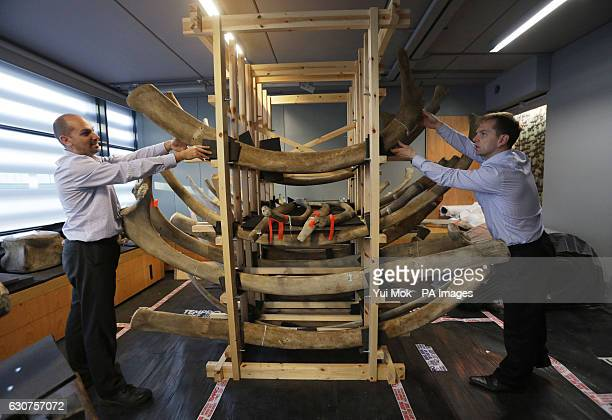 A rack holding ribs belonging to the blue whale skeleton being prepared in the conservation studio at the Natural History Museum London for display...