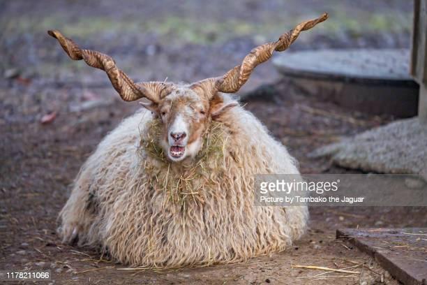 racka sheep lying down - 角のはえた ストックフォトと画像