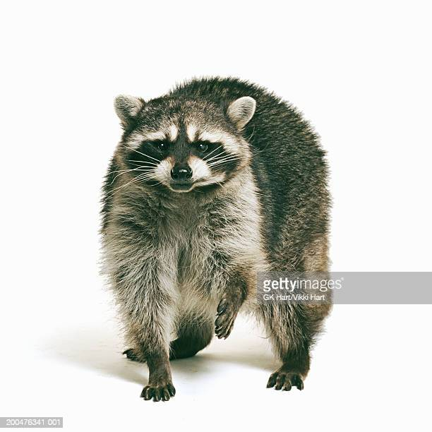 racoon (procyon lotor) against white background - raccoon stock pictures, royalty-free photos & images