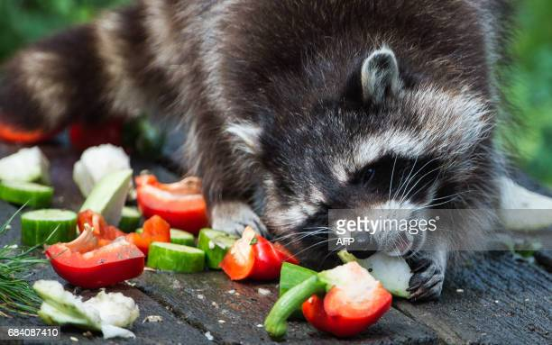 60 Top Raccoon Like Animal Pictures, Photos, & Images
