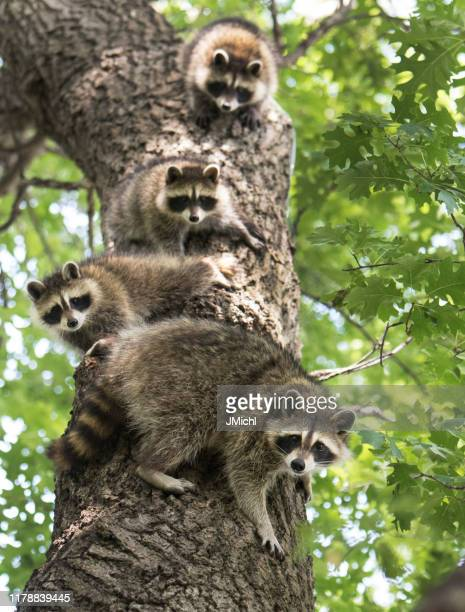 racoon family - raccoon stock pictures, royalty-free photos & images