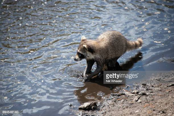 racoon hunts fish in pool at bird rookery swamp in the everglades near naples florida. - rookery stock pictures, royalty-free photos & images