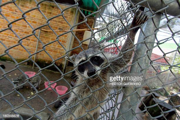 Racoon in its cage at Villa Fantasia zoo in the Zapopan municipality, metropolitan area of Guadalajara, Mexico, on August 15, 2012. The beast was...