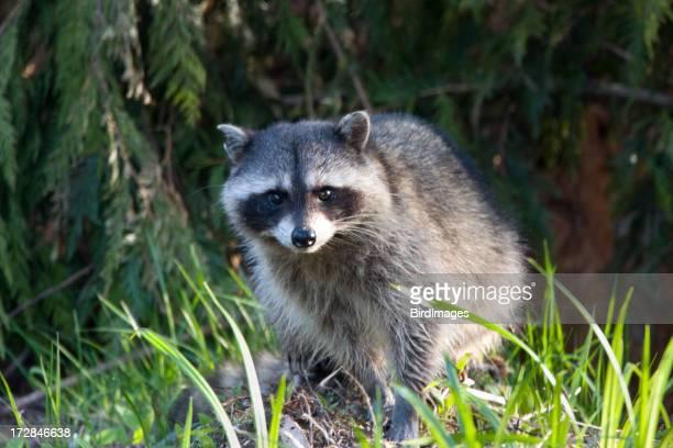 Racoon in die brush