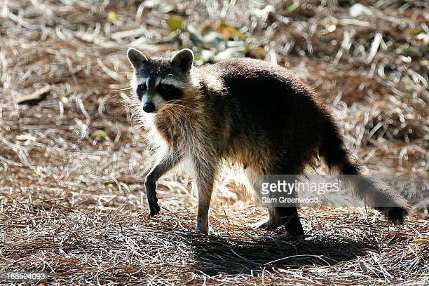 A racoon is seen during round two of THE PLAYERS Championship at THE PLAYERS Stadium course at TPC Sawgrass on May 10 2013 in Ponte Vedra Beach...