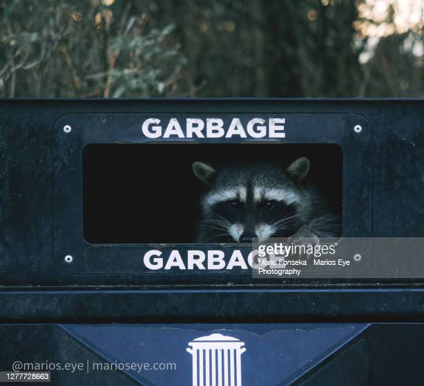 a racoon peeks through a garbage can - editorial stock pictures, royalty-free photos & images