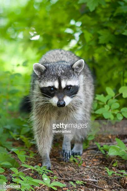 racoon - raccoon stock pictures, royalty-free photos & images
