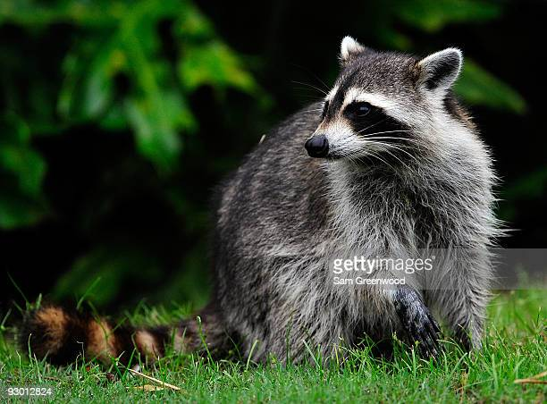 A racoon watches is seen on the course during the first round of the Children's Miracle Network Classic at the Disney Palm and Magnolia courses on...