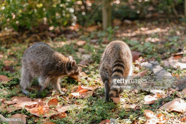 racoons looking for food in bill baggs cape state park - florida us state stock pictures, royalty-free photos & images