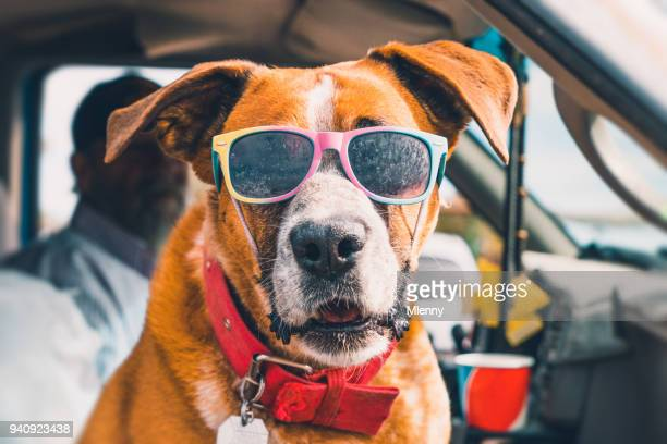rad dog with sunglasses in pick-up truck - heat stock pictures, royalty-free photos & images