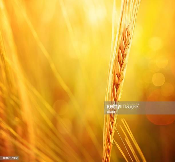 Radiant Weizen.
