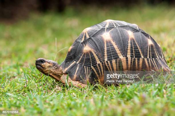 radiated tortoise from madagascar - domestic animals stock photos and pictures