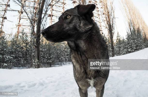 radioactive dog - chernobyl stock pictures, royalty-free photos & images