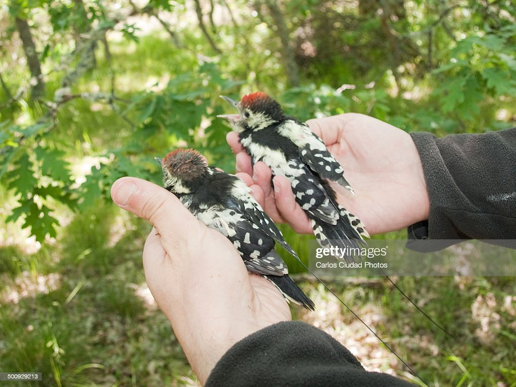 Radio-tagged juvenile middle spotted woodpeckers : Stock Photo