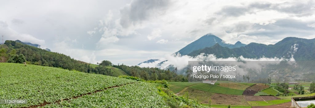Radish Crops Of Zunil : Stock Photo
