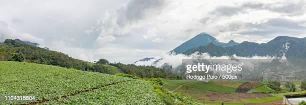 Radish Crops Of Zunil