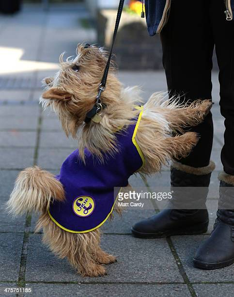 Raffa a Norfolk terrier wearing a UKIP coat looks for a treat from his owner outside the UKIP 2014 Spring Conference at the Riviera International on...