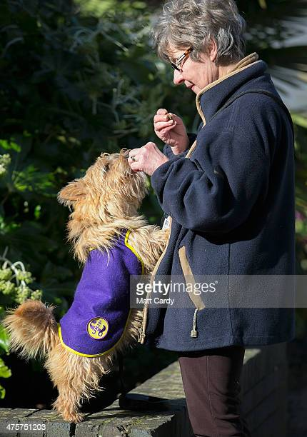 Raffa a Norfolk terrier wearing a UKIP coat receives a treat from his owner outside the UKIP 2014 Spring Conference at the Riviera International on...