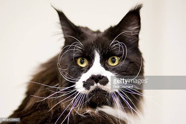 Raffles a Maine Coon attends the Governing Council of the Cat Fancy's 'Supreme Championship Cat Show' at the NEC Arena on November 22 2014 in...