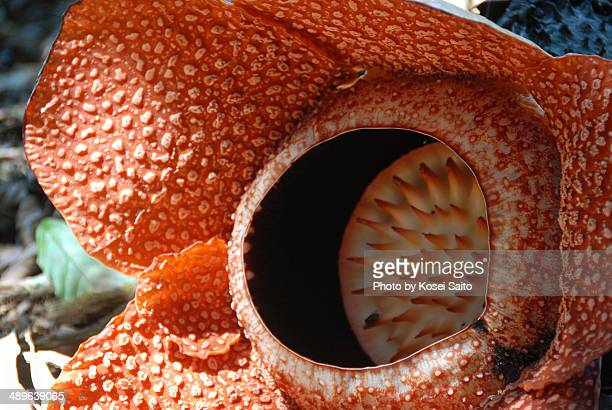 rafflesia - rafflesia stock pictures, royalty-free photos & images