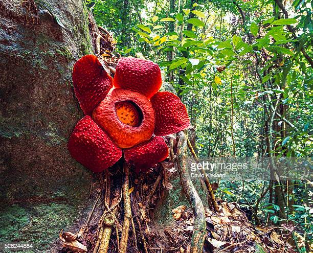 rafflesia, the world's largest flower; sarawak - rafflesia stock pictures, royalty-free photos & images