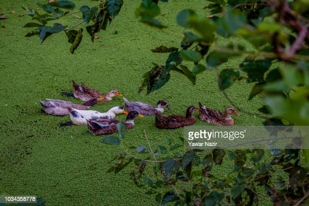 A raft of ducks float on a pond algae in a stream on September 16 2018 in Srinagar the summer capital of Indian administered Kashmir India Kashmir...