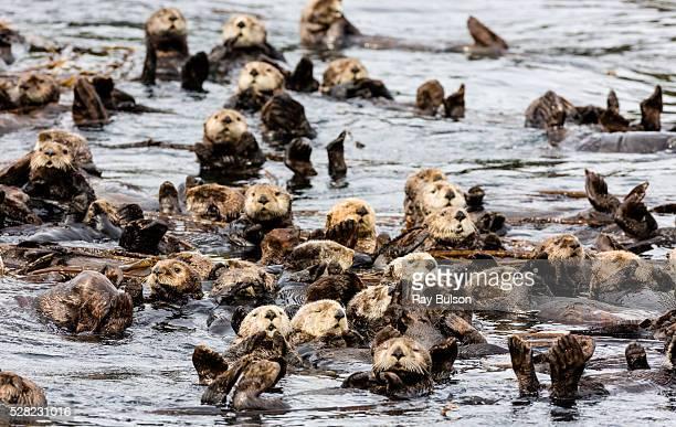 Raft of Sea Otters (Enhydra lutris) floating among kelp near Koniuji Island in Kupreanof Strait; Kodiak Island, Alaska, United States of America