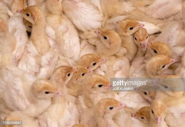 Rafter of turkey chicks is pictured at the Bauer's organic turkey farm in the Upper Austrian village of Weibern, on December 16, 2020. - As Austria's...
