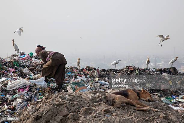 A rag picker sorts through garbage picking out recycable materials to sell as birds hover and a dog sleeps at the Ghazipur landfill site in the east...