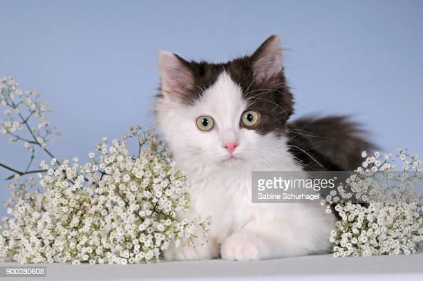 Ragdoll, brown white, young cat, lying