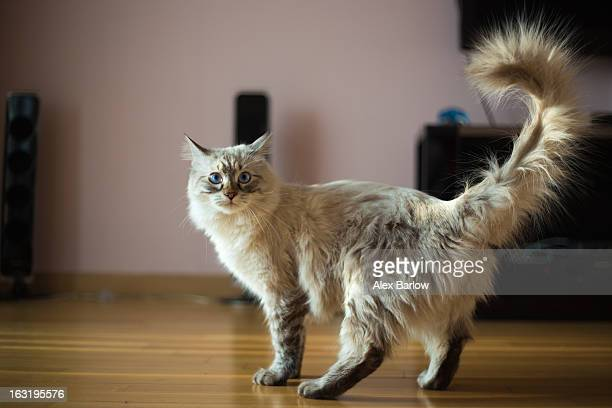 ragdoll cat casper - ragdoll cat stock pictures, royalty-free photos & images