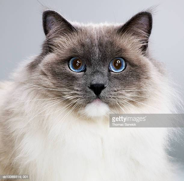 Ragdoll cat, close-up, portrait