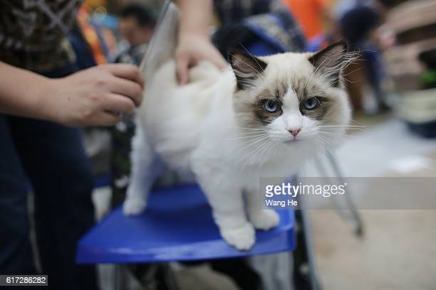 Ragdoll cat during the TICA international cat show at the Aoshan Shiji Plaza at the Aoshan Shiji Plaza on October 22 2016 in Wuhan Hubei province...