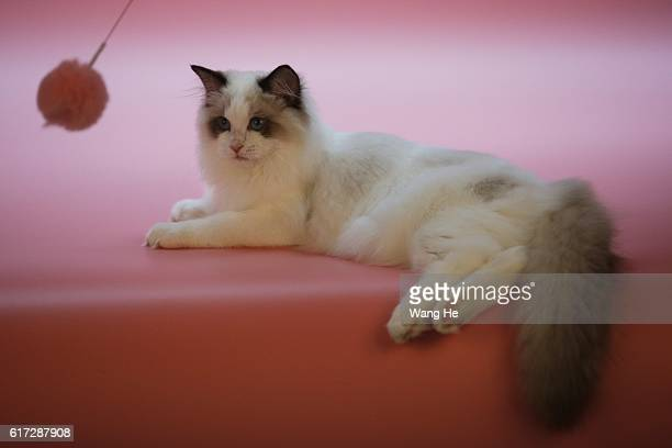 Ragdoll cat during the TICA international cat show at the Aoshan Shiji Plaza on October 22 2016 in Wuhan Hubei province China