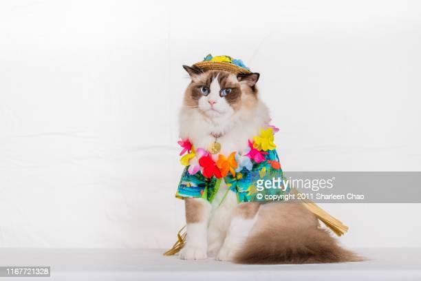 ragdoll cat in hawaiin costume - copricapo abbigliamento foto e immagini stock