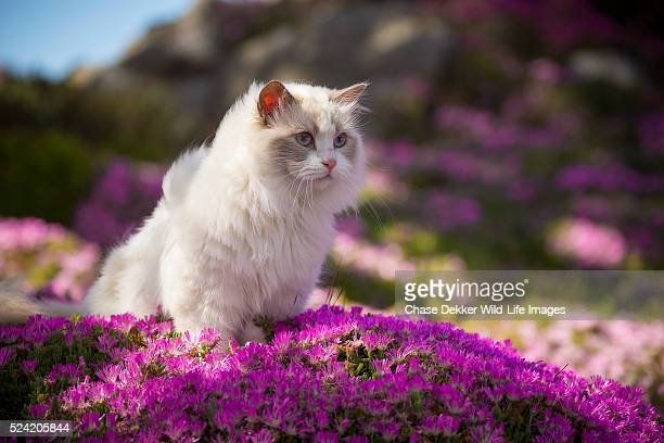 Ragdoll Cat in Pink Flowers