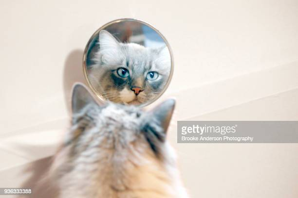 Ragdoll Cat Looking In Mirror