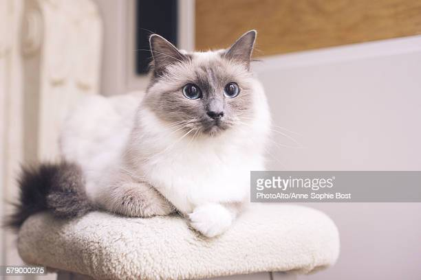 Ragdoll cat lying down, portrait