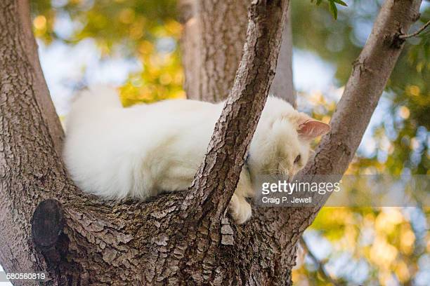 Ragdoll cat lying in the fork of a tree