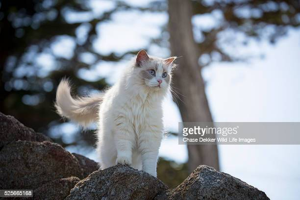 Ragdoll Cat Outside