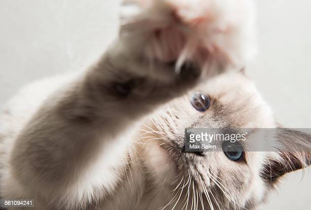 Ragdoll cat, paw reaching towards camera, close-up
