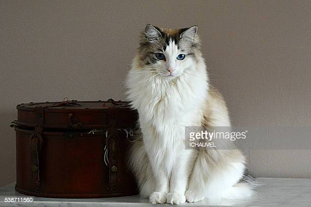 ragdoll cat - ragdoll cat stock pictures, royalty-free photos & images