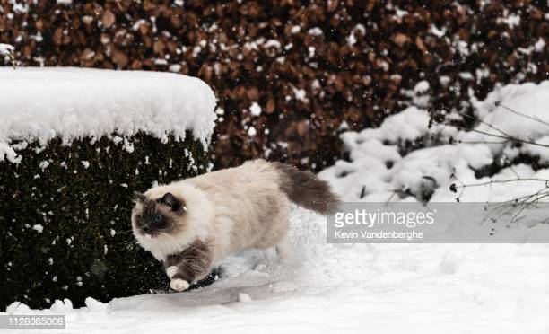 ragdoll cat playing in the snow - ragdoll cat stock pictures, royalty-free photos & images