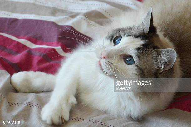Ragdoll cat portrait France
