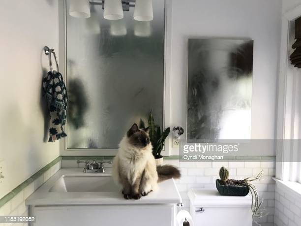 ragdoll cat sitting in a steamy bathroom - toilet planter stock pictures, royalty-free photos & images
