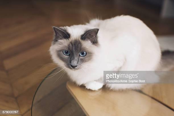 Ragdoll cat sitting on coffee table