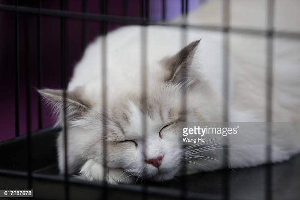 Ragdoll cat sleeps during the TICA international cat show at the Aoshan Shiji Plaza on October 22 2016 in Wuhan Hubei province China