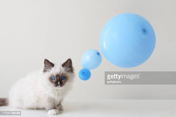 ragdoll cat with a conceptual thought bubble - thought bubble stock pictures, royalty-free photos & images