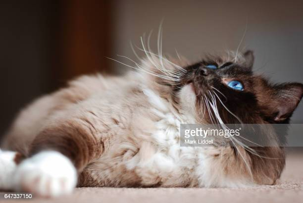Ragdoll cat with blue eyes lying on floor looking up