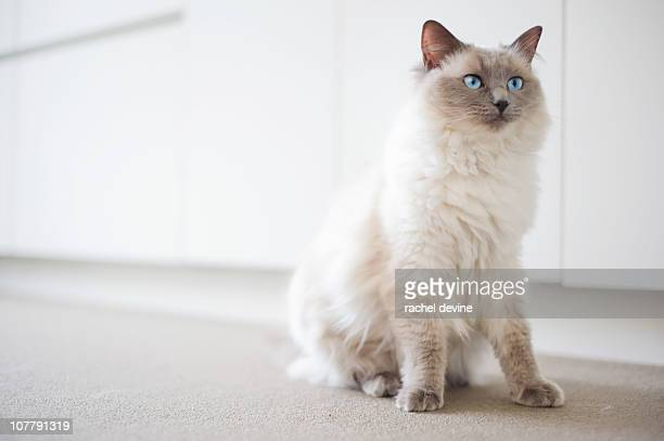 Ragdoll cat with intense blue eyes